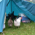 The resident hens checking out the tent!