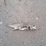 one of many many dead fish. Some were huge dead fish!