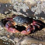 Crab in tidepool