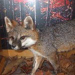 A fox displayed at the Center