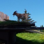 Goats on the roof at Farmers Market in Coombs.
