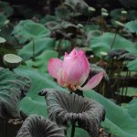 Closeup of a lotus.. :P