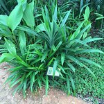 Pandan in edible garden