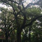 Inman Park trees