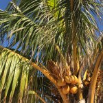 coconuts on the palm trees in the court yard