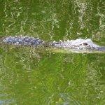Alligator in Big Cypress National Preserve.