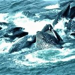 Killer whales bubble feeding.