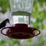 one of the many hummingbirds around the back patio