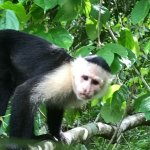 We saw some very polite Capuchins who gently but efficiently grabbed some peanuts from us.