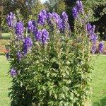 Blumen (Heilpflanze Eisenhut)