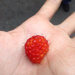 ripe salmonberry picked and ready to be eaten