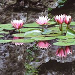 Water lilies in Chinese Garden