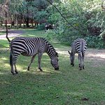 Zebras acting as lawnmowers in the grounds
