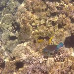 That blue fish is a parrot fish, if you listen closely you can hear them munching on the coral.
