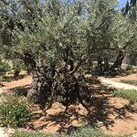 Foto di Garden of Gethsemane