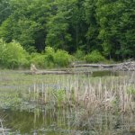 beavers home at the wetland