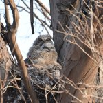 5/29/17 - Two great horned owlet babies in their nest!