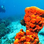 Orange coral with a local and a visitor