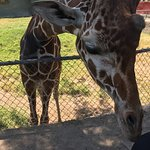 You can get really close to some giraffes (but not feed them) without the safari ride.