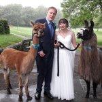 Llama wedding!