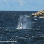 Whales in the bay June - August