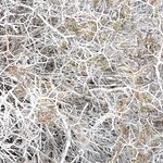 Sarcopterium spinosum bush