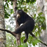 Bornean Sun Bear - Sepilok