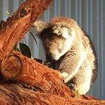 Kool Koala_large.jpg