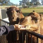Cool Camels_large.jpg