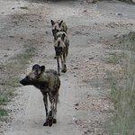 Wild dogs. Interesting animals