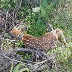 Baby deer found in vineyard.  So sweet!!!
