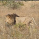 A male lion looking for a spot to relax