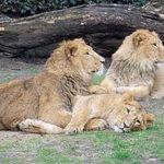 Planckendael - leeuwen