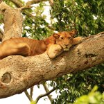 Tree Climbing Lion in Ishasha Sector