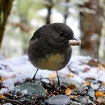 A South Island Robin with a snowy wood-chip