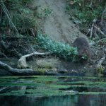 Observation des castors des Gorges du Gardon