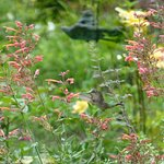 Watch for Hummingbirds in the Pool Garden in summer