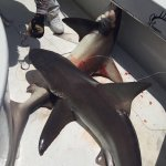 Amazing Fishing trip with friends . Caught two sail fish and also Two sand bar sharks on the sam