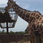 Up close to the giraffes