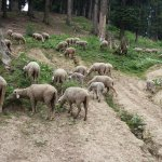 While on the way you pass by herd of sheep .