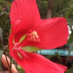 A native hibiscus that Bill grew from a seed