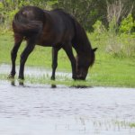 wild horses drinking water