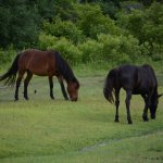 wild horses in a yard