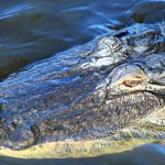 Alligator Head Shot at Wakodahatchee Wetlands a wonderful nature center in Delray Beach, Florida