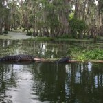 Lots of Gators and beautiful birds on our tour this morning.