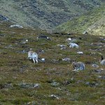 Mountain hare on our all day wildlife tour