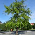 Gingko træet