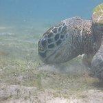 sea turtle 26