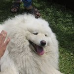 Mickey is more of a playful grizzly-bear rather than a Samoyed