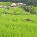 Rice paddy fields Bali.
